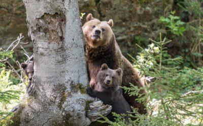 Медведица с потомством гуляет по Сафонову