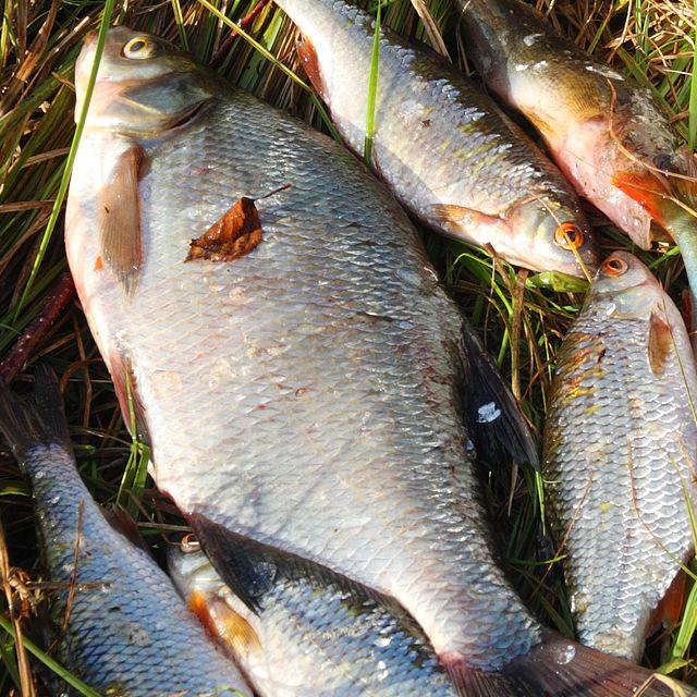 Как сохранить рыбу в жаркую погоду