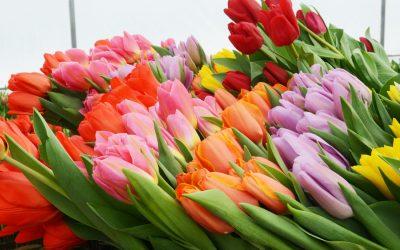 Смоленские тюльпаны поставляют за границу