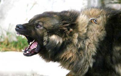 В Смоленске йоркширский терьер ценой жизни спас хозяйку от кавказской овчарки